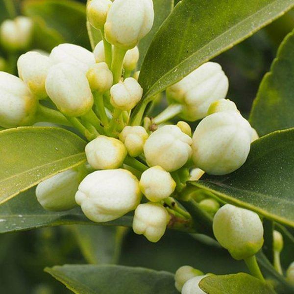 วิธีใส่ปุ๋ยเร่งดอกมะนาว,ปุ๋ยเร่งดอกมะนาว,ปุ๋ยอินทรีย์เร่งดอกมะนาว,ปุ๋ยน้ำเร่งการออกดอกมะนาว